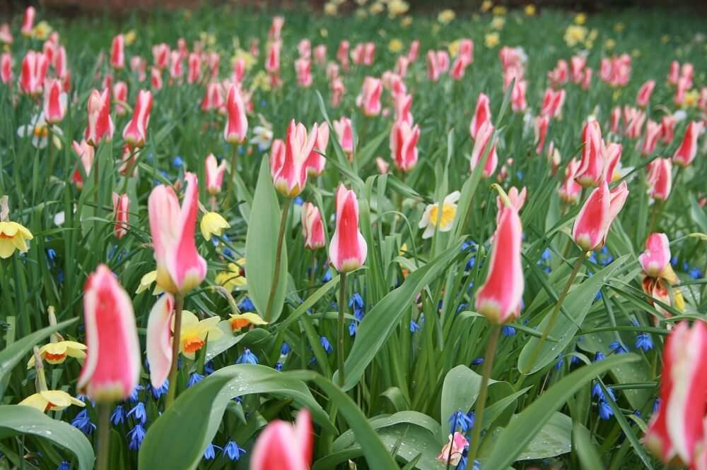 Anriss Tulpen und Osterglocken