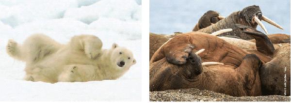 Eisbären und Walrosse