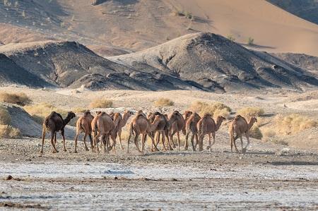 Kavir Kamele