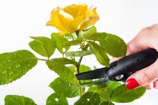 Rosen zuschneiden