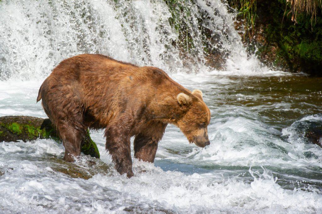 Bär lauernd auf der Stromschnelle